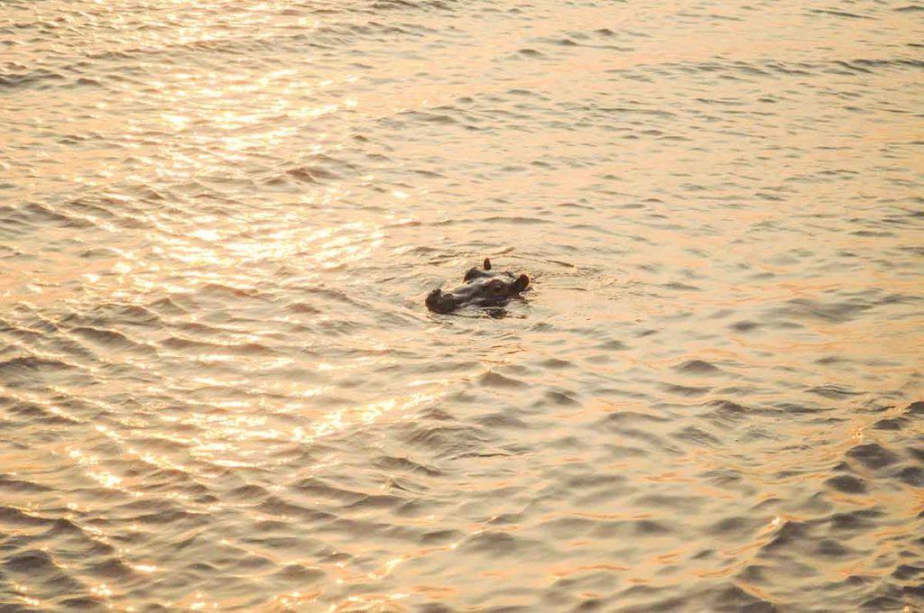 Flusspferd-Alarm