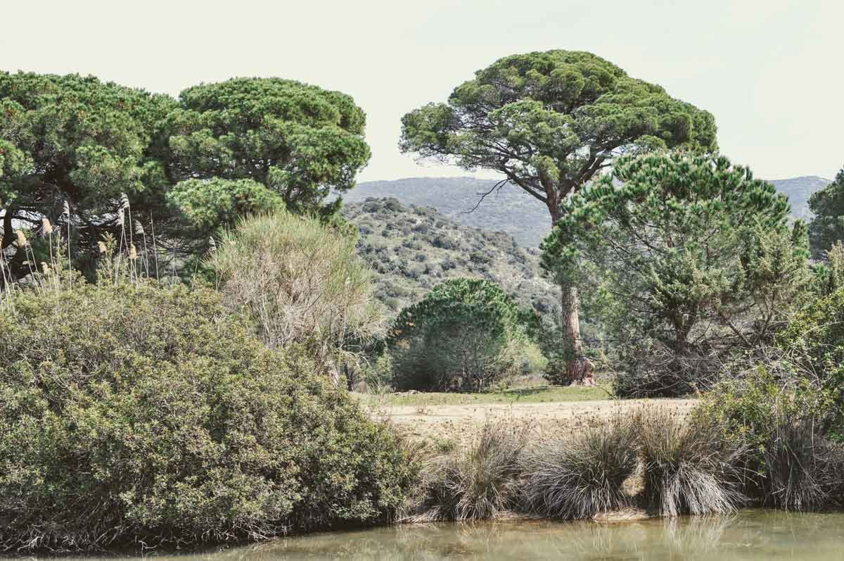 Pinienwald in der Maremma