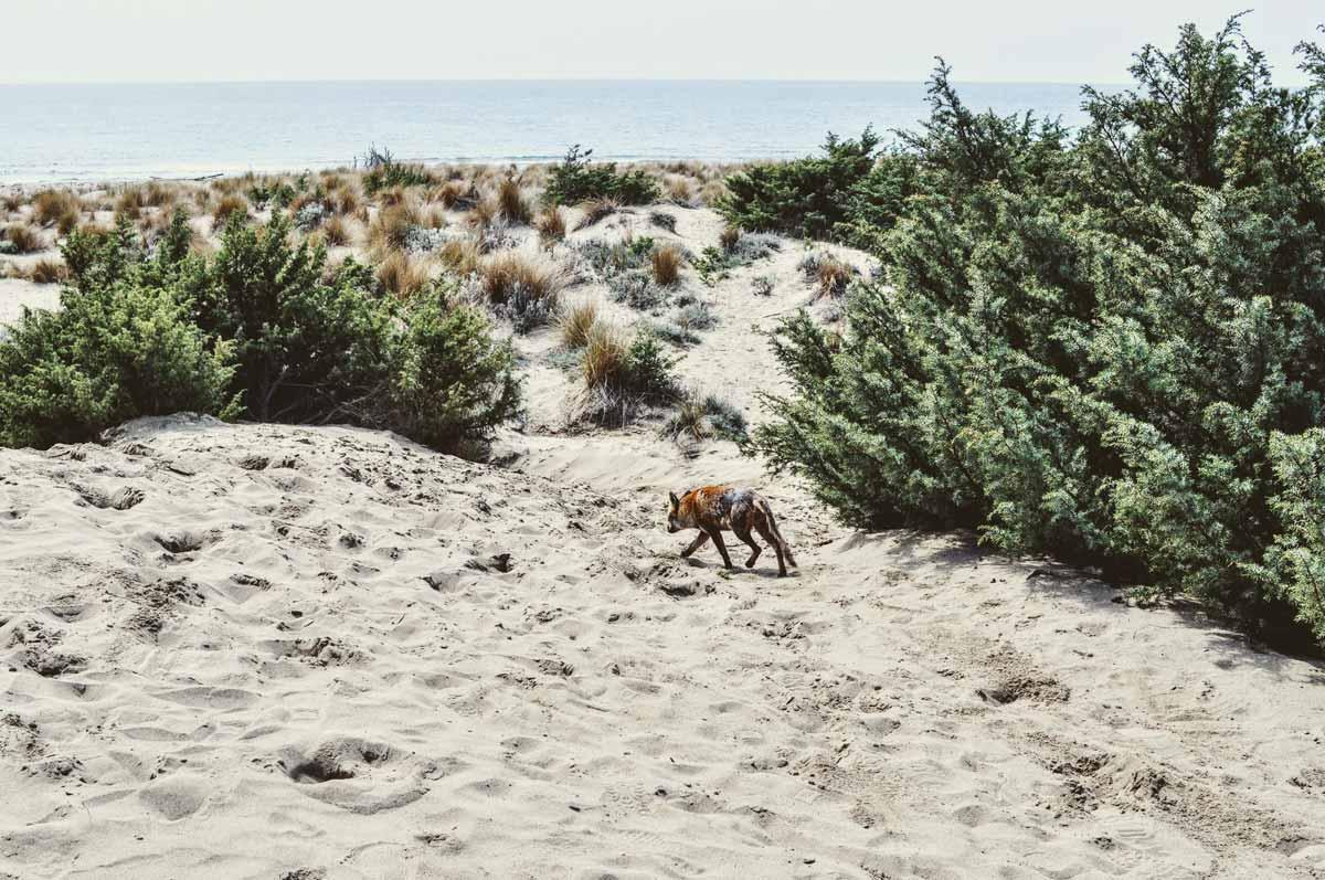Fuchs in der Maremma